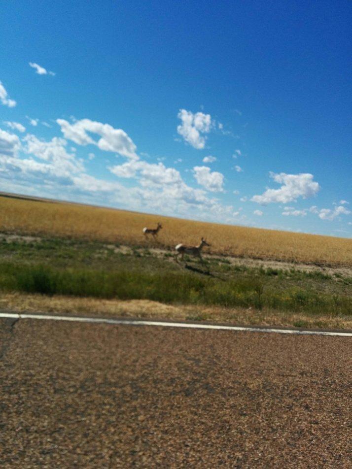 Antelopes in Montana